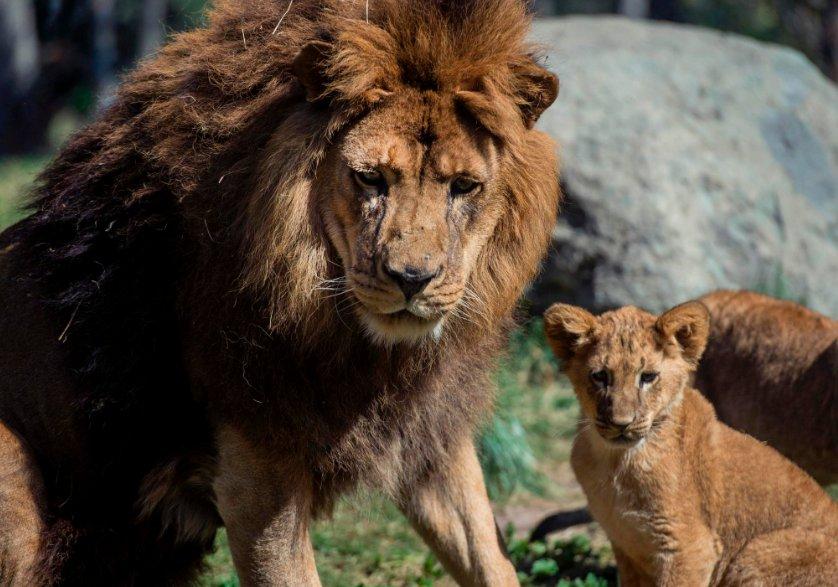 5 lions flee South Africa's Kruger park