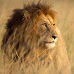 Second Kruger National Park lion recaptured, 3 others spotted