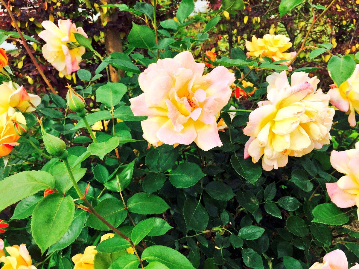 5月は藤もきれいだし、バラもきれい、つつじもたくさん咲いて、お花の季節だね https://t.co/YXx6WRf2zn