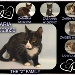 #URGENT #NYC #CATS innocent mom ZARIA & KITTENS need US by 2/10-PLS RT/adopt/foster/pledge! https://t.co/9bK2s8iu8g https://t.co/zLOEmc73Ac