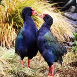 "Hows this for a Valentines Day card? ""Girl, you can takahe my heart any day"" #zoovalentines https://t.co/LDqJC54f8a"