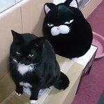 この前、UFOキャッチャーのぬいぐるみがあまりにもうちの猫にそっくりだったので頑張って取ってきた!目…