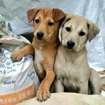 These labs are looking for a home.  Please call on +91 9810341916 #delhi please RT https://t.co/z7wOyXSENK