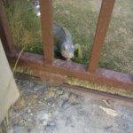 La iguana será reubicada en un hábitat apropiado para su supervivencia #FTCAyuda https://t.co/cAWaHuU63g
