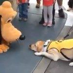 Cão-guia conhece Pluto e não consegue conter animação. https://t.co/efeoHKeU9i [@blogpagenfound] https://t.co/BSRD52rZ1V