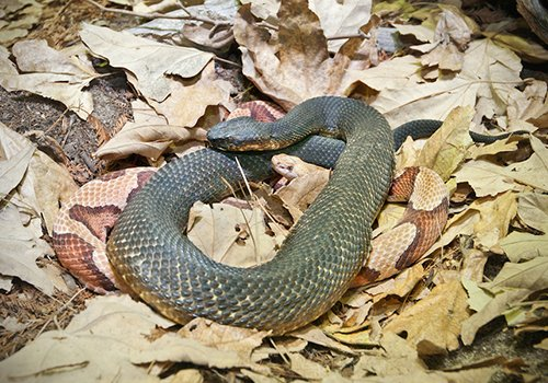Visit our LAIR and view the Mexican form of cottonmouth which is called the cantil. https://t.co/o6tG8zy2nN