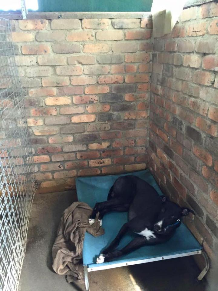 3 dogs to be killed by owner Fri, Greyhound New Beginnings of Aus needs help to save them. https://t.co/7RLiFOQZ4u https://t.co/oWL4IQwEO7