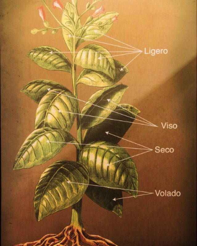 Learn at #LaAuroraCigarInstitute the different cultivation techniques, understand the tobacco plant and leaf. https://t.co/YPQhNDcM9M