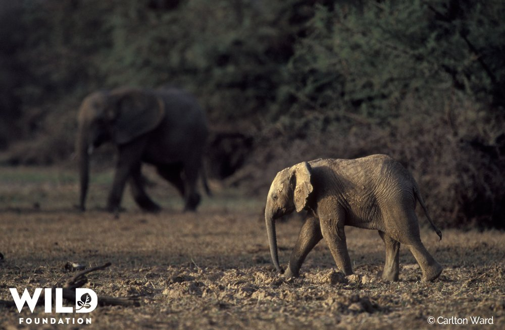 Will #Mali's desert #elephants become a thing of the past? https://t.co/Be0kpi9TZP #MaliElephantProject https://t.co/CGNYFBTePA