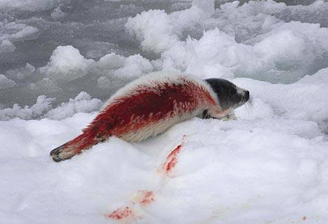 RT @saveallanimals2: Many seals have not even eaten their first solid meal or taken their first swim before they are killed. #sealhunt http…