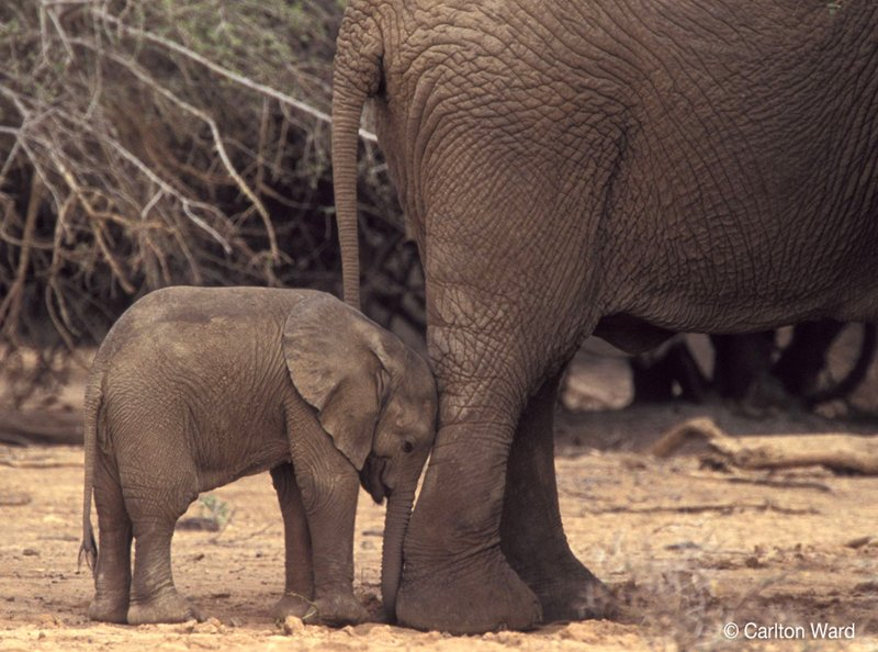 #Mali's desert #elephants will be extinct in just 3 years if we don't take action NOW! https://t.co/PED8iNxn9N https://t.co/52yZsSiuYV