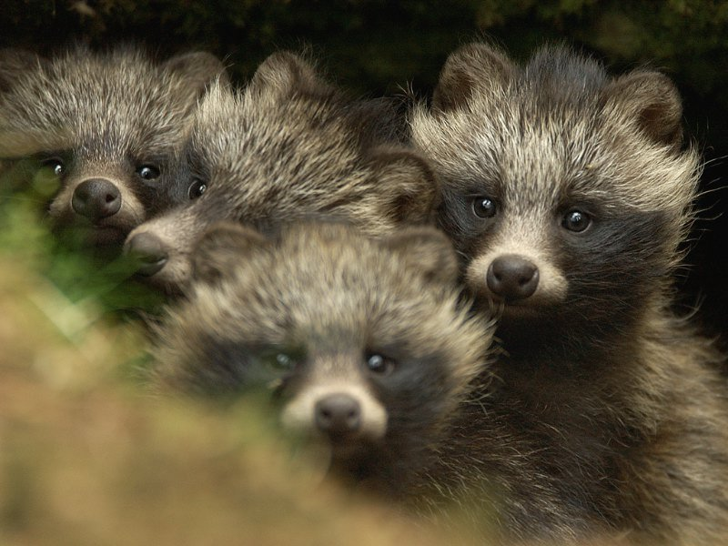 Four Tanuki pups, better known as Japanese raccoon dogs. https://t.co/2BcH5EoqUP