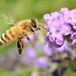 Honeybees are at risk from a virus spread by humans, our scientists have discovered https://t.co/WE7yMD2nHx https://t.co/HG75y1FVVH
