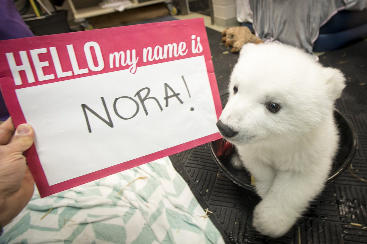 Drumroll…… the #polarbear cub's name is NORA! Watch her name be revealed=> https://t.co/CoJkpbKcLZ https://t.co/3cGzM4CjI7