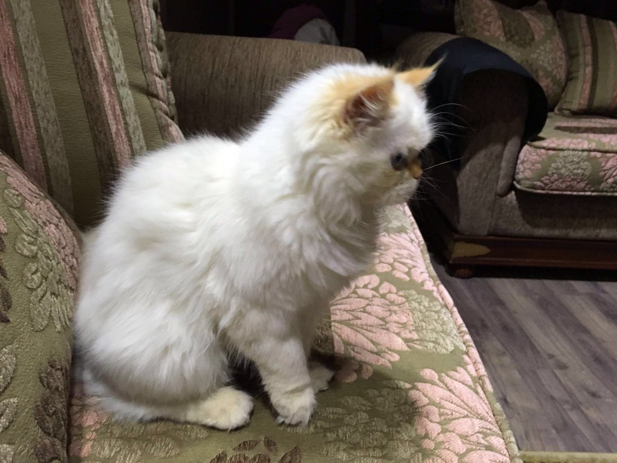 A very human friendly 6 month old kitten up for adoption contact me if intersted , retweet please #kitten #adoption https://t.co/Up8y5uLBky