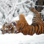 #Snow day! This is one happy kitty. Make sure to tag us in your snow pics and use #ZooSnowDay. #bronxzoo #tiger https://t.co/q3xvfiCNPP