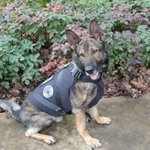 Vancouver Police K9 Enzo is the third VPD K9 to receive a bullet and stab protective vest.  https://t.co/a7NuzwxB8X https://t.co/x0l3oIKqsH