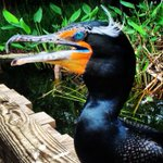 For the double crested cormorant, its #MardiGras all year round! Try to wear YOUR beads around your eyes! https://t.co/ZR3aaTFcnW