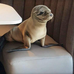 Hungry sea lion pup walks into fancy restaurant, seats itself at booth with ocean view https://t.co/6l2ncgBYXn https://t.co/BRjmvf5Kip