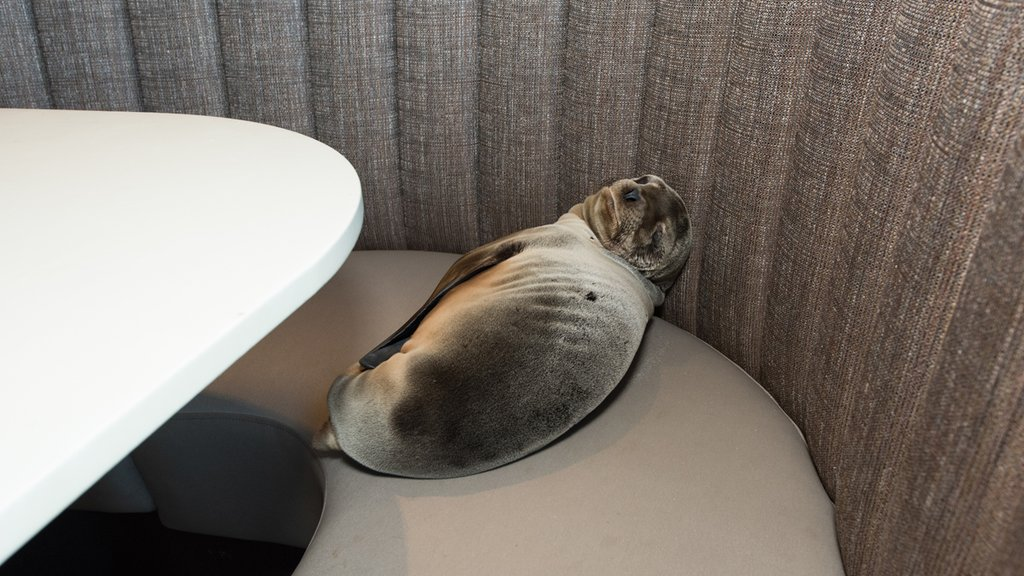 Sea lion, party of one. Pup found sleeping in booth at Marine Room restaurant in La Jolla: https://t.co/uQCnNo1s9z https://t.co/HVhdYY2O8q