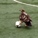 For all the sports and bird fans: Bald eagle plays ball on @UBC Thunderbird field #Vancouver https://t.co/0K6vgY59JC https://t.co/YjrSsAb4nC