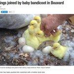 【ちゃっかり】鴨の家族に紛れ込んだバンディクートの赤ちゃん 豪 https://t.co/LXOm3sQMZU バンディクートはネズミに似た小型の有袋類で、絶滅の危機に瀕している動物。家族のように寄り添っている光景に癒されますね。 https://t.co/E6YYuxAAdY