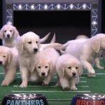 VIDEO: @jimmyfallon uses puppies to pick winner of Broncos-Panthers Super Bowl https://t.co/2NsMmjWTig https://t.co/ha3jORQGHB