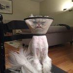 友人の猫が去勢手術したらしいんだけどその時の写真がこちら https://t.co/lj1YermHh8