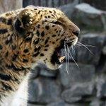 Наблюдать за жизнью дальневосточного леопарда стало возможно в онлайн-режиме https://t.co/APgaLs2EIo https://t.co/asldlNIscv