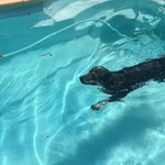 You know its hot when even the dog is cooling off in the pool #PerthHeatWave https://t.co/PkTYJflLut