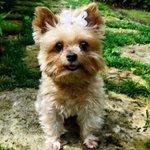 Lost dog alert in #Miami Please help us find Disco! #Reward #lostdog #yorkie #Miami #SouthMiami #Missing #FindDisco https://t.co/4r6VvIggnq
