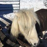 Our miniature horse at Chatfield Farms says, #GoBroncos! #SuperBowl50 #iamnotlittlesebastian @Broncos https://t.co/t3W3JwiBbW