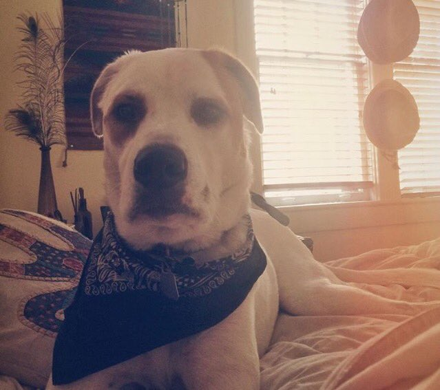 """The Osborne dog """"Cookie"""" has gone walkabout. If you see her in the midtown area, Nashville. Please contact us"""