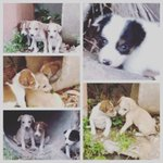 Puppies dumped on a road in Ratamala #SriLanka would you like 2 adopt? They are @ serious risk plz call 0773760107 https://t.co/ahF3DpzEP2