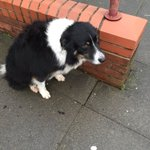 Border Collie dog found in Radyr this morning #Cardiff please RT https://t.co/5JEo6pNYBM