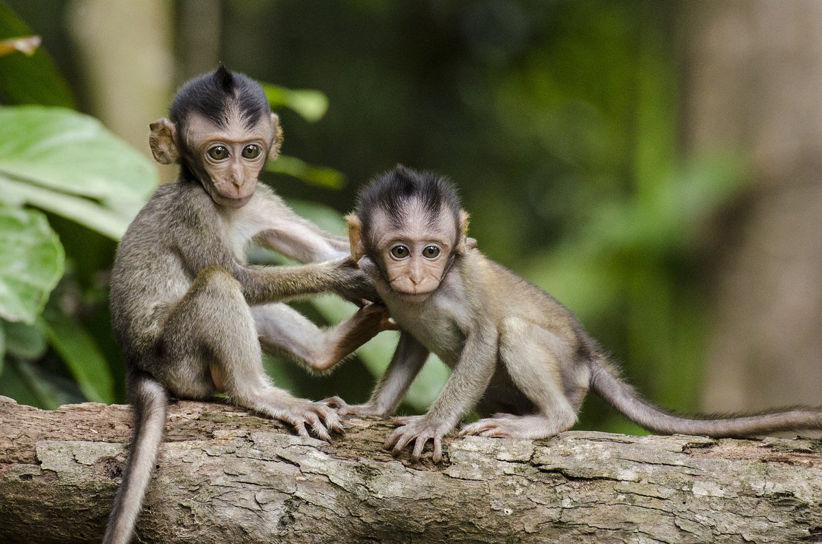 RT @peta: Today is the #ChineseNewYear! How You Can Help Monkeys in the #YearOfTheMonkey ???? https://t.co/wMGIIapnT3 https://t.co/EET9VAZooq