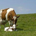 BREAK!Motie aangenomen:Kabinet moet binnen 6 mnd komen met plan voor kalfje bij koe.Niet aan veehouderij overlaten! https://t.co/nrrzfqOiVC