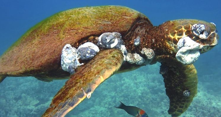 Is climate change worsening the amnt. of #SeaTurtles facing terrible tumors? https://t.co/lt4hRUGAkD via @EcoWatch https://t.co/HLS3c91d2G