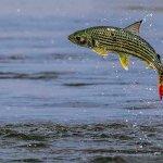 Something different in #Chobe Tiger Fish breaching #ChobeRiver #ThisIsChobe #Botswana Photo: Clint Ralph Photography https://t.co/3fvdpwprVJ