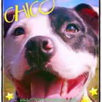 #Scotland @StaffieSmiles CHICO, Just arrived and in foster care 15/11/15. Saved 1 ... https://t.co/8atyHNRdtC https://t.co/VB48MVHqYy