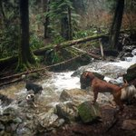River play! #unleashedhikes #thedogadventureco #vancouver #vancouverdogs #northvan #northvandogs #northvancouver https://t.co/9wGODgnt7z