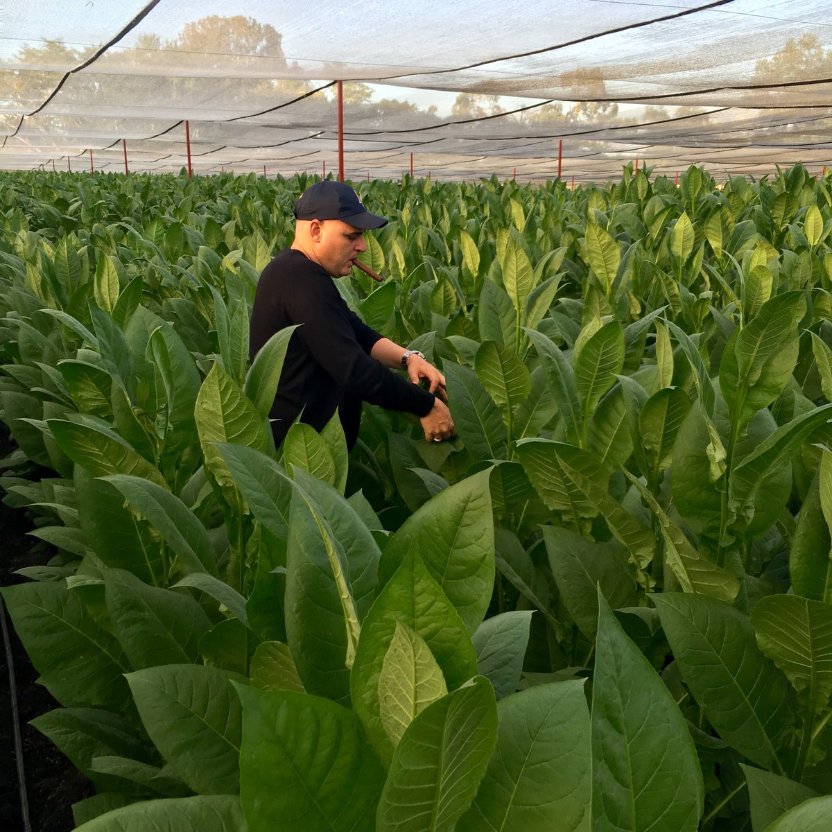 AJ Fernandez loves to be in the field at least three times a day. #AJFCigars #AJFernandez #cigarindustry #cigarlife https://t.co/5OSvJxR5FL