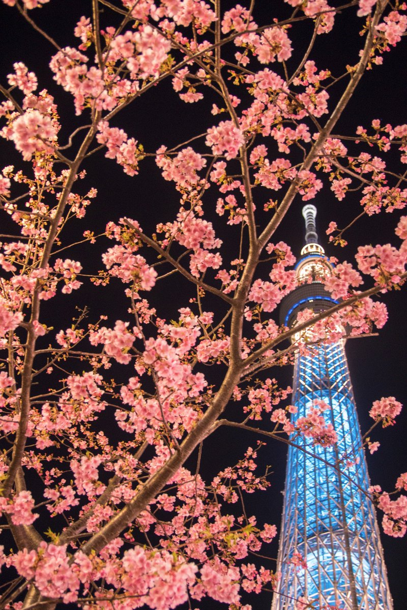 スカイツリーにある河津桜を見に行ってきました。まだ満開ではないけど、足を止めて撮る人も多く見頃に入ってると思います。それにしても、夜桜はいい! https://t.co/4ZBQLRdvyY