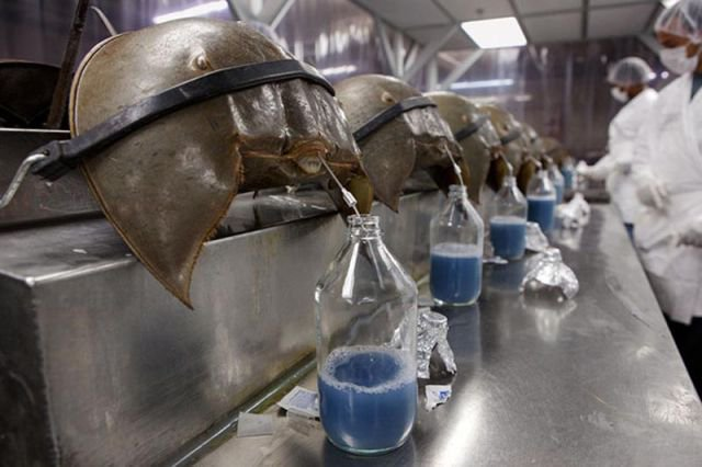 Horseshoe crab blood is worth $15,000/L, due to its ability to detect bacteria. https://t.co/2WMm2U4ZCo