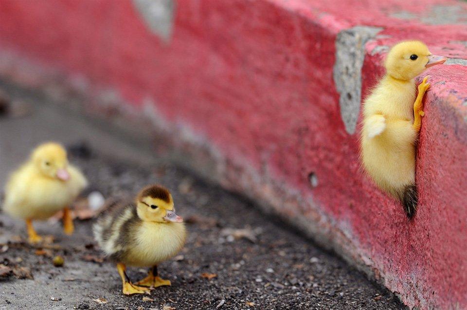 Duckling Climbing | Photography by ©David Bitton https://t.co/xVDwCv7Dzd