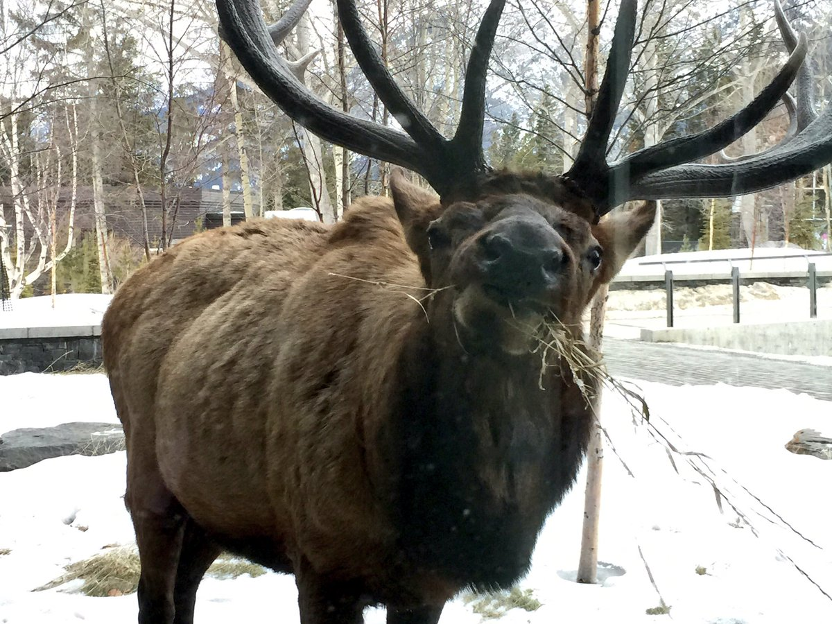 Welcoming guests this morning @thebanffcentre @Real_Banff @Banff_Town #elk @BanffNP @BIRS_Math #rundlesummit https://t.co/GaFyb8fh5M