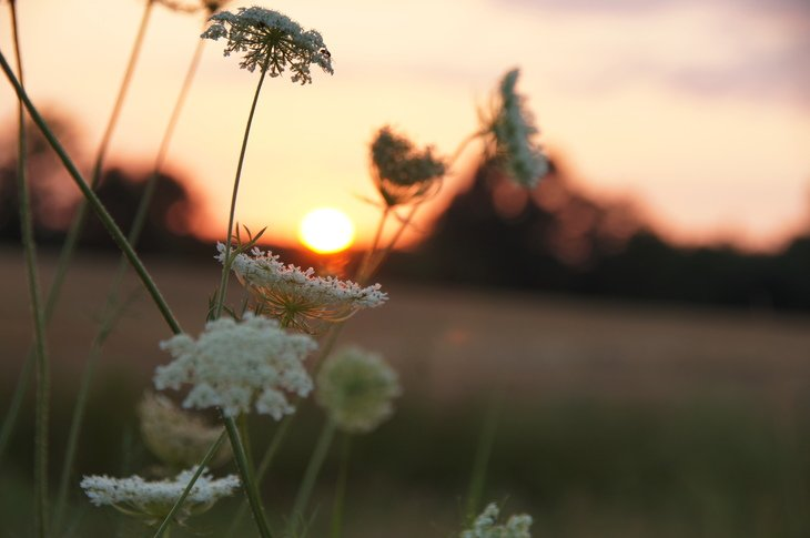 RT @hitRECord: 'BlueJoyBruk' captured this gorgeous shot of Queen Anne's Lace cradling the setting sun - https://t.co/rtjeiR1BEK https://t.…