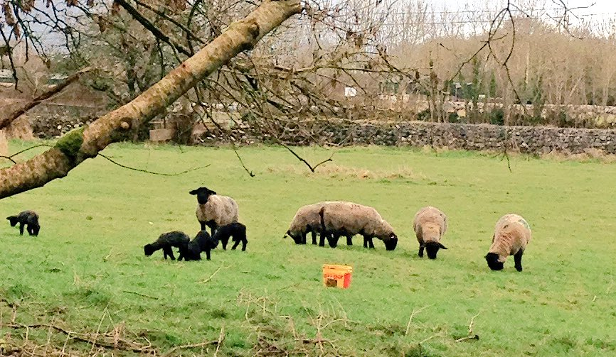 Out and about @allthingsmayo #ttot little black sheep being cheeky .. @killianecastle looking forward to being there https://t.co/hWtVpqs39u