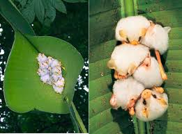 Honduran white bats are the best. They are tiny white fuzzballs who snuggle in banana leaf houses https://t