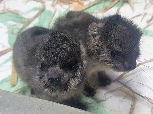 【京都市動物園】 訃報 ハイラックスの赤ちゃんが亡くなりました。。 https://t.co/tdww0rpx8v #zoo #animal https://t.co/cH4Hy0hSWw